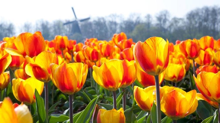 Dutch Tulip Parade Weekend